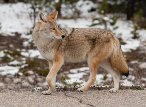 Must-do: Winter Wildtierbeobachtung im Jasper National Park